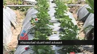 Idukki Chinnakanal  emerging as strawberry hub : Chuttuvattom  News