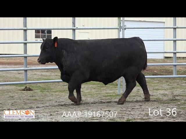 Clemson Extension Bull Test Lot 36