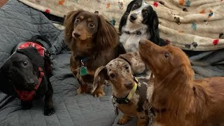 Funniest mini weiner Dogs 37minutes  Videos compilation   #Try not to Laugh Dachshund Videos 2021