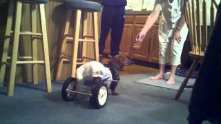 Dachshund Wheelchair Homemade