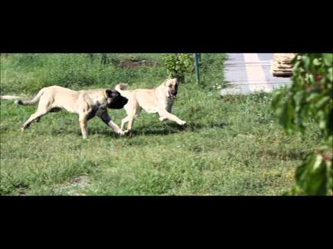 Msheci - Armenian Wolfhound Gampr / Հայկական գելխեխտ Գամփռ - Մշեցի /Армянский Волкодав Гампр - Мшеци