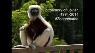 a lemur legend jovian aka zoboomafoo passes away at duke lemur center