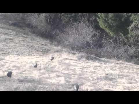 Whitetail deer and turkeys feeding