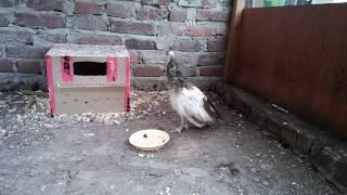Nowy nabytek - młody paw indyjski