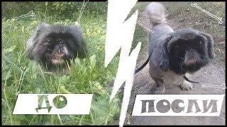 Стрижка на дому собаки породы пекинес | не профессиональная стрижка