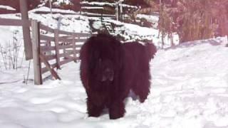 2011年の元旦、鹿児島にも20センチの積雪。大喜びの熊犬君と雪遊び〜