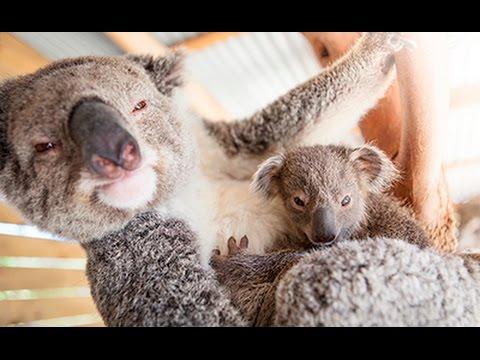Koala Selfie In Sydney Australia