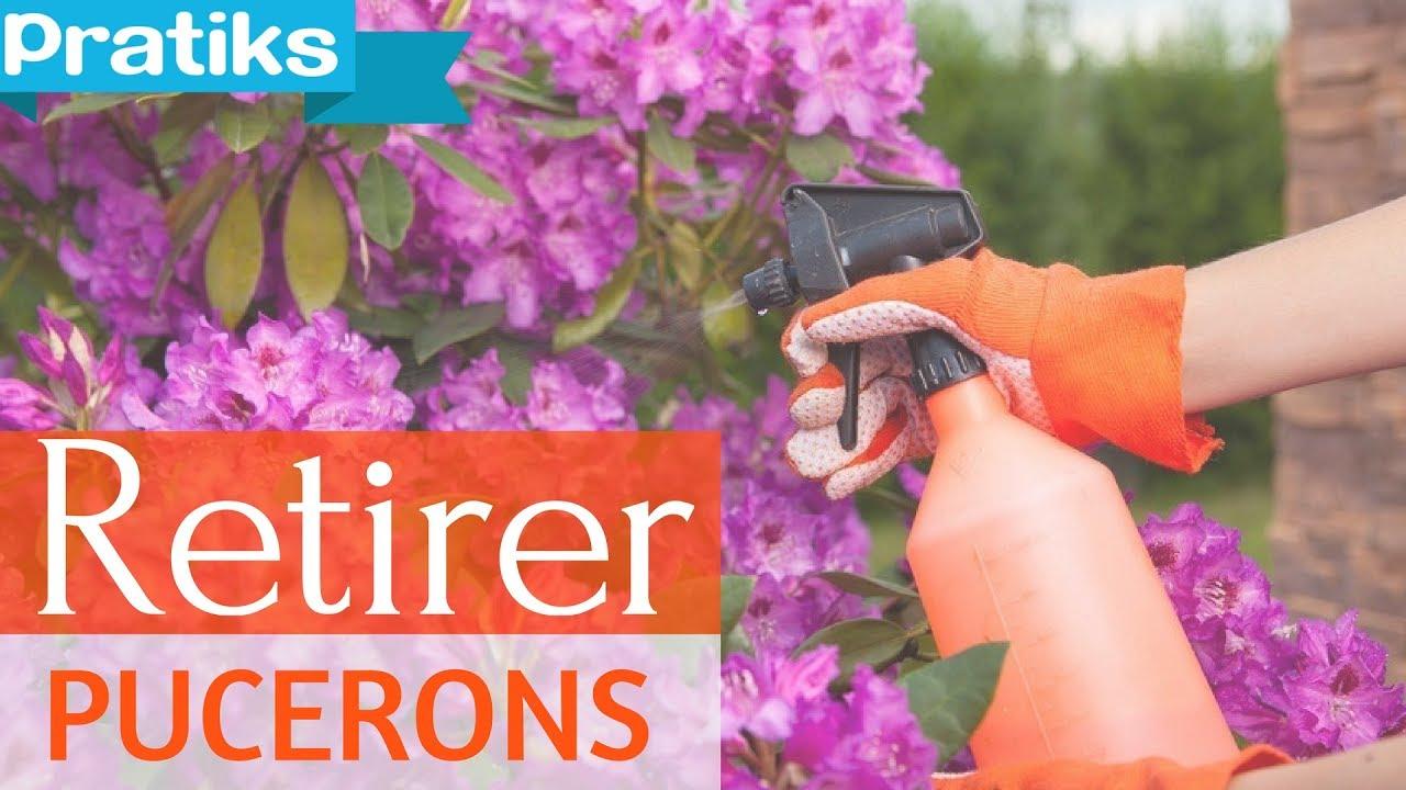 Bicarbonate De Soude Contre Les Pucerons la solution pour retirer les pucerons de vos plantes