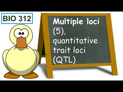 Bio 312 video 86: Multiple loci 5, quantitative trait loci (QTL).