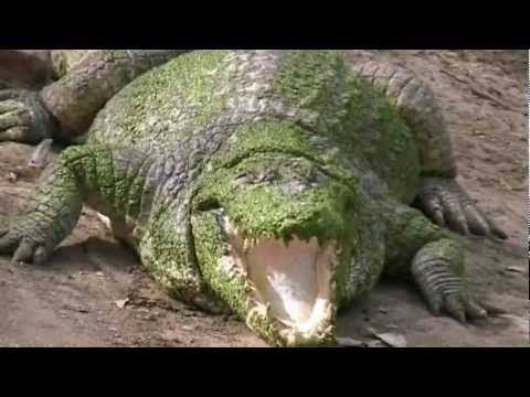 Wild Crocodiles and Villagers in harmony. We explore in Corcodiles of Gambia