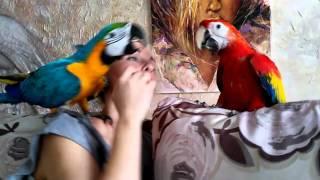 видео Красный ара