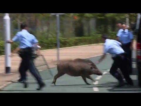 Watch Police Scramble to Capture Wild Boar!