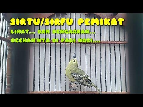 Cipow bird singing