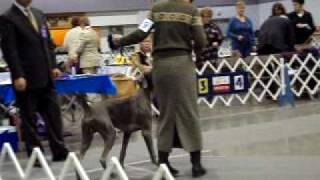 1-24-10 Rose City Classic Portland Or Weimaraners Puppy Dogs 6-9 Months #2.avi