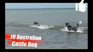 Foreigner vs indian dogs || videsi vs desi kuta || stupid ki vines ||