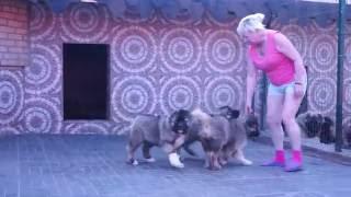 Щенки кавказской овчарки www.r-risk.ru +7 9262205603 Татьяна Ягодкина