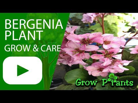 Bergenia - Growing And Care