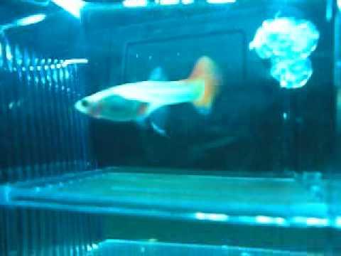 Sala Parto Guppy : Dei guppy gialli appena nati nella sala parto youtube
