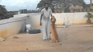 great dane indian dog achu great dane nelamangala