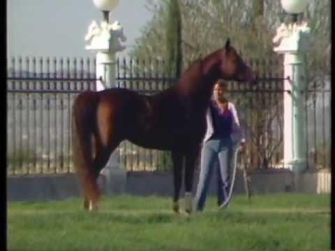 Muscat ~ Russian Arabian Stallion ~ 1st Triple Crown ~ Taylor Ranch Arabians & Karho Arabians