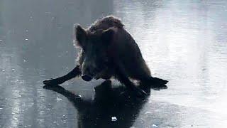 Wildschwein hängt auf zugefrorenem See fest – dann kommt ein Schlittschuhfahrer