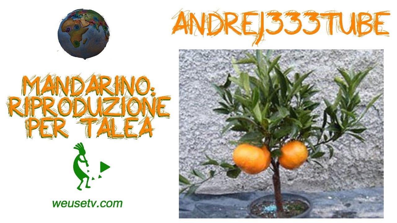 Botanica e giardinaggio - Mandarini (clementini) - Riproduzione per talea - Y...