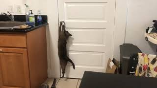 What happens when a Burmese cat sees a closed door