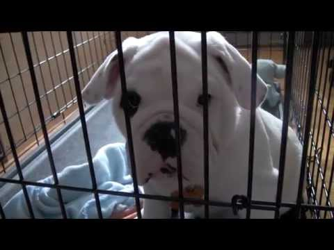Bentley the Bulldog Puppy has the Hiccups!