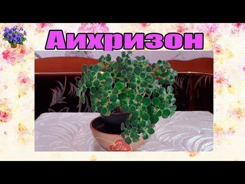 Аихризон (дерево любви). Уход в домашних условиях