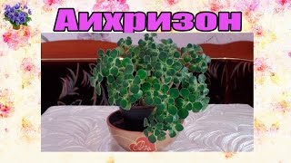 Аихризон (дерево любви). Уход в домашних условиях(Очередное видео о комнатных растениях из серии