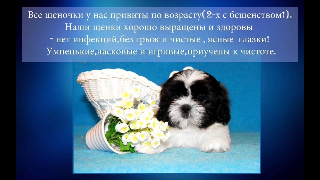 Питомники. В москве. Http://shihtzu. Ru/. В киеве. Http://solnechnyi-kapriz. Com. Ua/. Выбирая, где купить щенка, обязательно: прочитайте отзывы;; ознакомьтесь с информацией о питомниках и заводчиках;; поинтересуйтесь, как выглядят родители, имеют ли титулы,