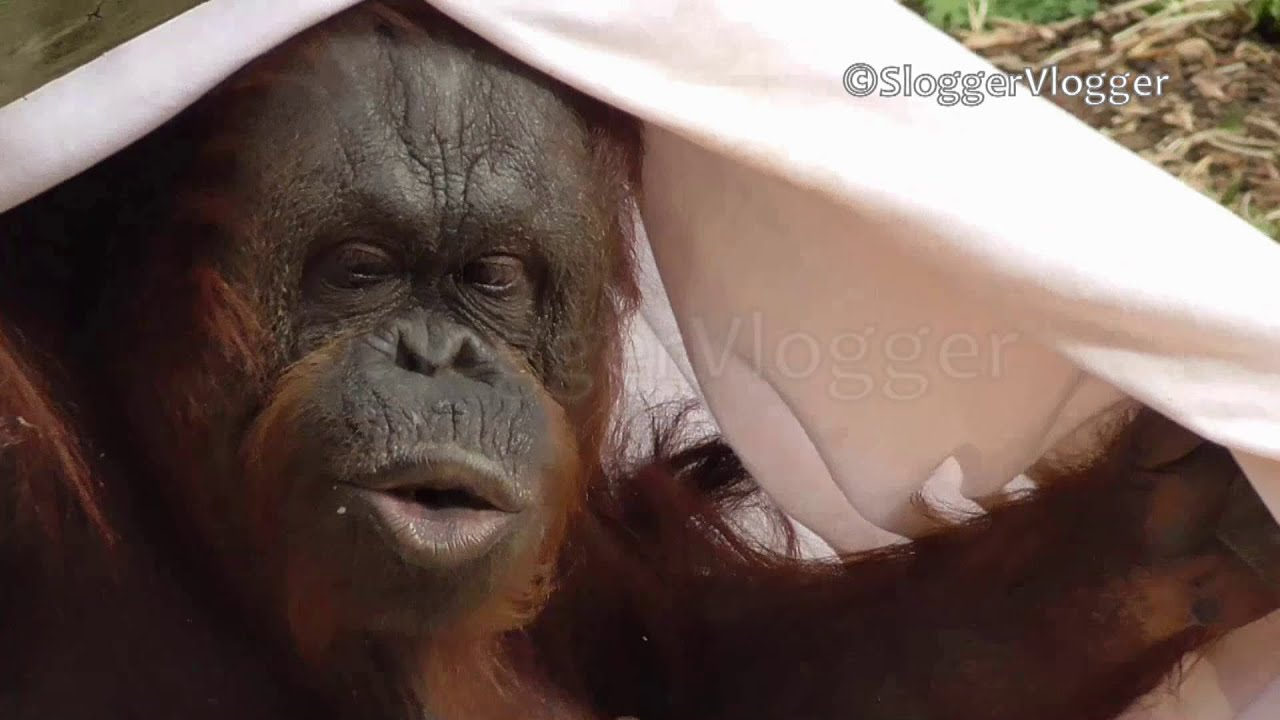 Orangutan Mum Dresses Up Baby Approves And Applauds Youtube