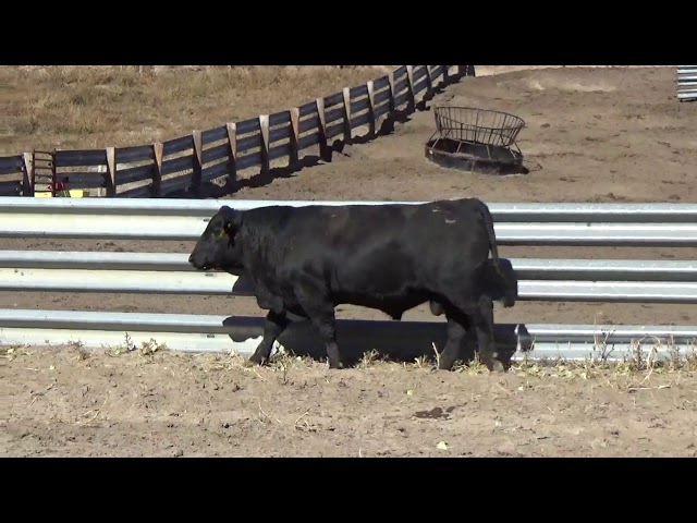 Connealy Angus Lot 151