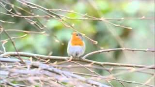 Il canto del Pettirosso