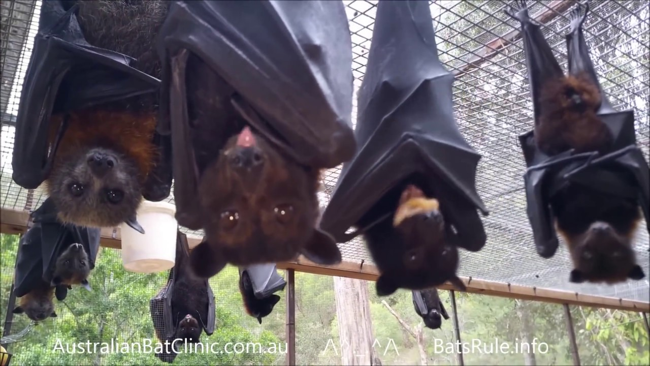 Australian rescued Bats, Megabats, flyingfox, fruit bat in ...