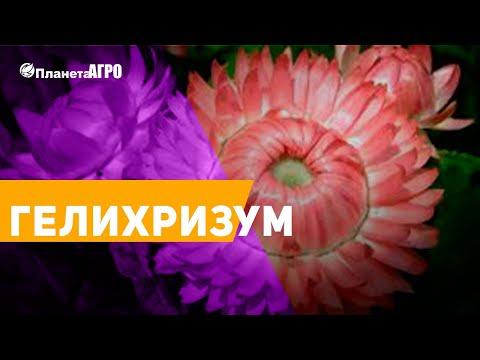 🌺 Семена цветов Гелихризум, Бессмертник, Цмин 🌿 Планета Агро