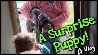 We Got A Neapolitan Mastiff Puppy
