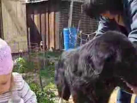 Тувинская овчарка Мугур и маленькая Варя