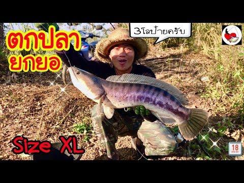 ตกปลาชะโด ยกยอปลาช่อน ►Fishing lifestyle Ep.211