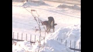 Собаки занимаются любовью прямо возле школы)