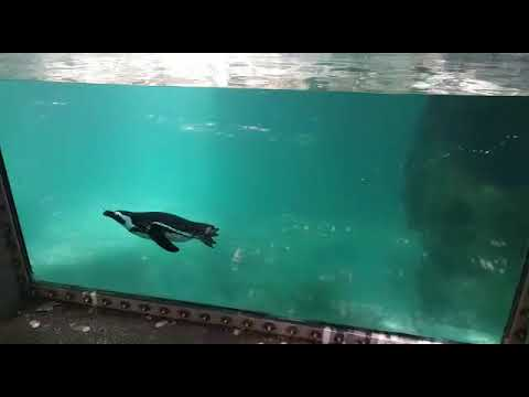 Underwater view of swimming African penguin