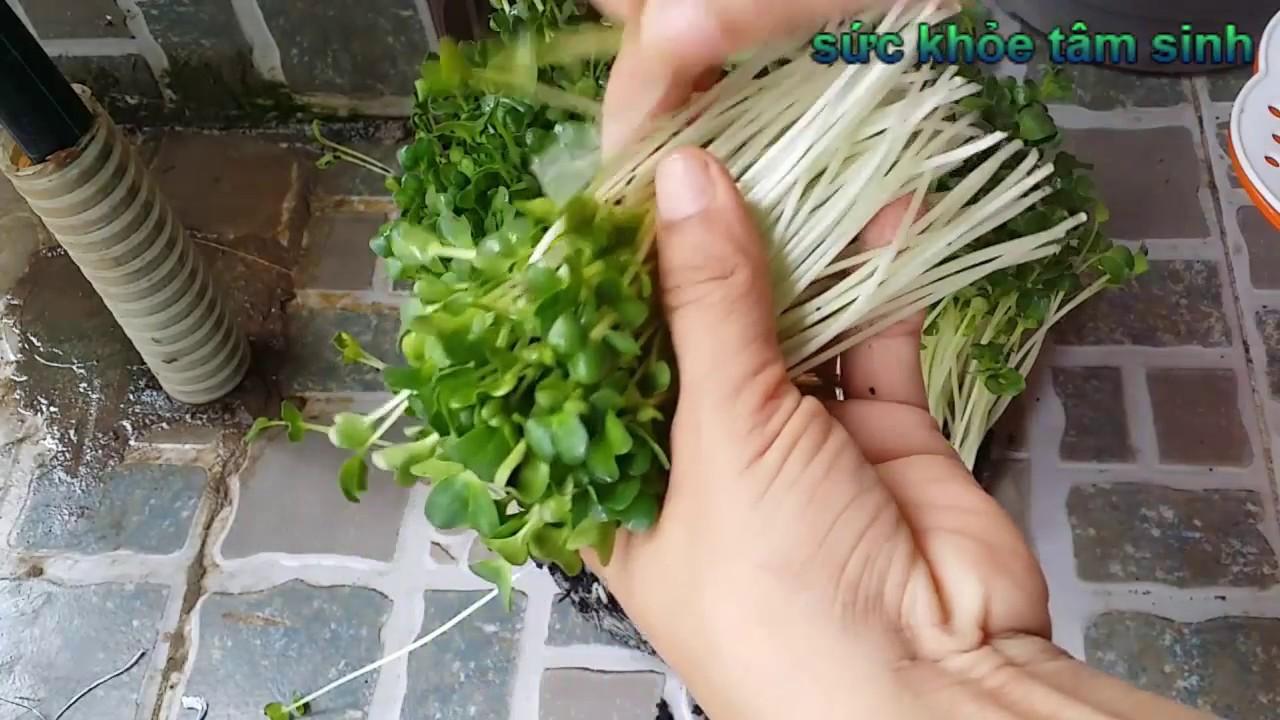 Cách trồng rau cải mầm, trồng rau sạch tại nhà   Sức khỏe tâm sinh