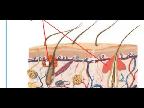 The Human Integumentary System - YouTube
