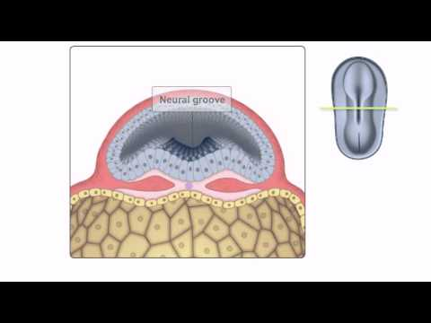 General Embryology - Detailed Animation On Neurulation