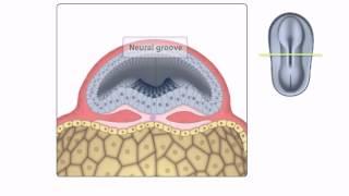 Allgemeine Embryologie - Detaillierte Animationen Auf Neurulation