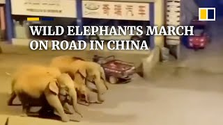 Wild elephants march on road in China