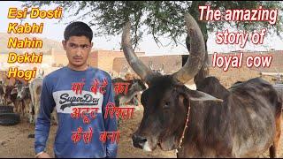 जोजर गाय और करण ने एक दूसरे की कैसे बचाई जान जाने इस अद्भुत कहानी को, The amazing story of loyal cow