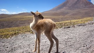 Vicuña (South American camelids)