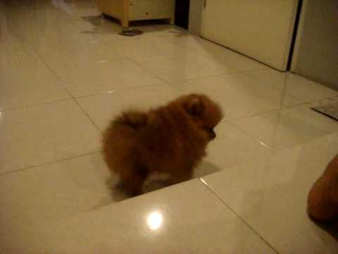 My Mini Pomeranian Youtube