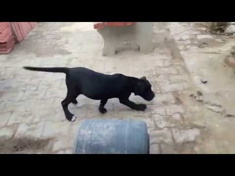 Cane Corso Puppies Available For Sale In In Indiacall 9582828266